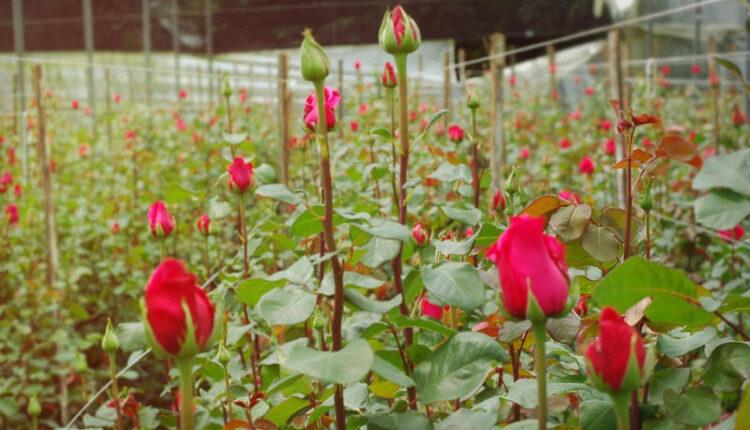 screenshot_2021-04-23_solitaire_roses.jpg