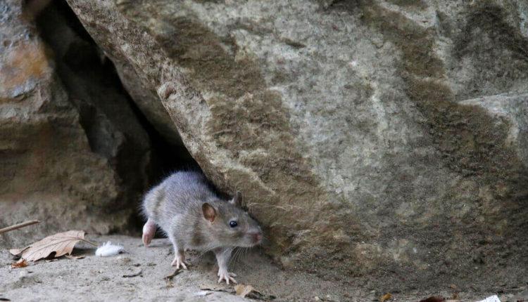 Rural-Rats.jpeg
