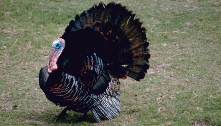 eastwild-turkey.jpg