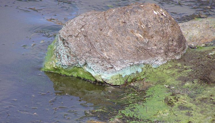 800px-Cyanobacterial_Scum.JPG